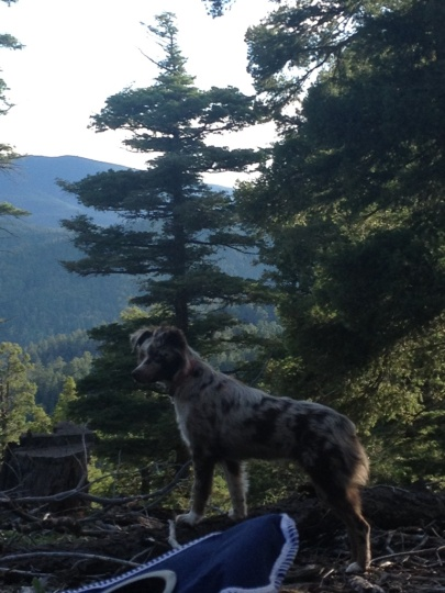 Luna scouting the woods in Carson National Forest near Santa Fe